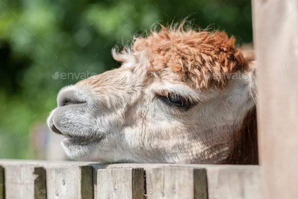 sleepy alpaca - Stock Photo - Images