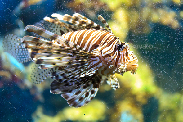 Lionfish (Pterois mombasae) - Stock Photo - Images