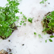 Microgreens basil on white background, Vegan micro sunflower greens shoots - PhotoDune Item for Sale