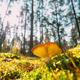 Mushroom Russula emetica - sickener, emetic russula, or vomiting russula. Autumn Forest - PhotoDune Item for Sale