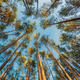 Autumn Forest At Sunset Evening. Beautiful Pine Trunks In Summer Coniferous Woods. Looking Up - PhotoDune Item for Sale
