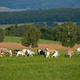 Herd of white and brown goats grazing on a green meadow in summer nature - PhotoDune Item for Sale