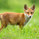 Red fox cub looking to the camera on sunny meadow in summer - PhotoDune Item for Sale