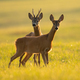 Two roe deer looking on sunny field in summer nature - PhotoDune Item for Sale