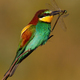 European bee-eater sitting on twig in summer sunlight - PhotoDune Item for Sale
