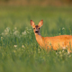 Roe deer fawn looking from flowers and grass in summer sunlight - PhotoDune Item for Sale