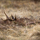 Red deer shed peeking from a dry yellow grass on a spring meadow - PhotoDune Item for Sale
