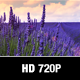 Lavender Field In The Wind - VideoHive Item for Sale