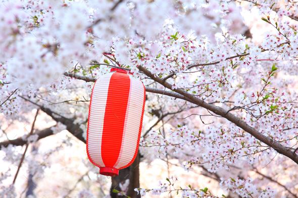 Red lantern and sakura - Stock Photo - Images