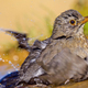 Blackbird, Mediterranean Forest, Spain - PhotoDune Item for Sale