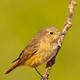 Female Redstart, Mediterranean Forest, Spain - PhotoDune Item for Sale