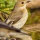 Pied Flycatcher, Mediterranean Forest, Spain - PhotoDune Item for Sale