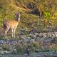 Spotted Deer, Royal Bardia National Park, Nepal - PhotoDune Item for Sale