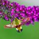 Hummingbird hawk-moth flying to a budleia flower - PhotoDune Item for Sale