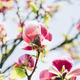 Pink Magnolia Tree with Blooming Flowers - PhotoDune Item for Sale