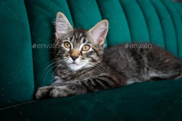 Kitten lying on the green sofa - Stock Photo - Images