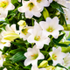 Bouquet of white lilies. Beautiful white lilies - PhotoDune Item for Sale