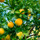Oranges branch with green leaves on tree - PhotoDune Item for Sale