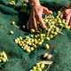 Woman hands are picking fallen olives from nets under olive trees - PhotoDune Item for Sale