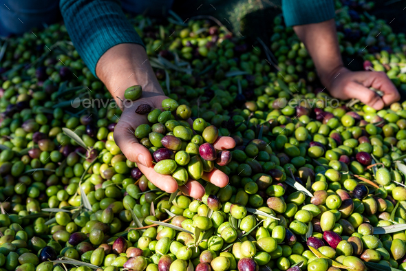 Woman keeps in her hands some of harvested fresh olives in a field, top view - Stock Photo - Images