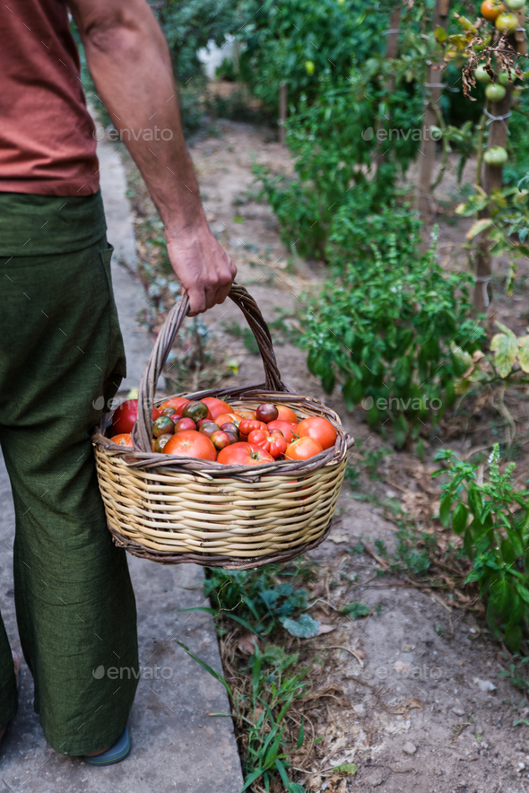 Farmer holding basket with fresh organic tomatoes - Stock Photo - Images