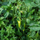 Organic plantation with growing sweet green peppers, ready to harvest, close-up - PhotoDune Item for Sale