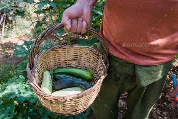 Man is holding a basket with zucchinis in his garden - Stock Photo - Images