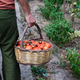 Farmer holding basket with fresh organic tomatoes - PhotoDune Item for Sale