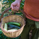 Man is holding a basket with zucchinis in his garden - PhotoDune Item for Sale