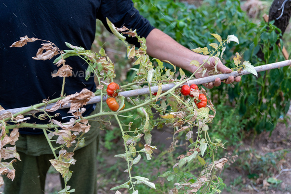 Man is holding drying tomato plant, the end of the growing season. - Stock Photo - Images