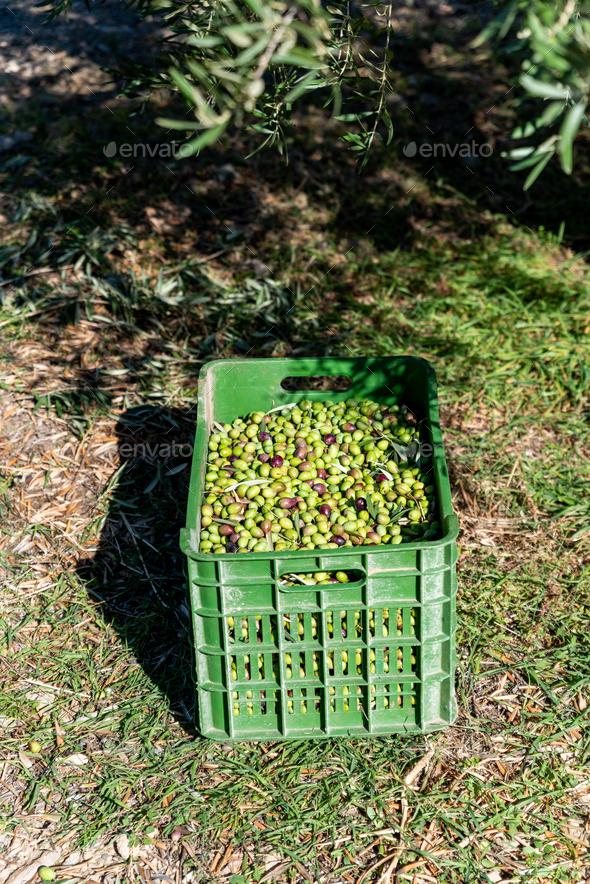 Basket full of olives during harvest, close up - Stock Photo - Images