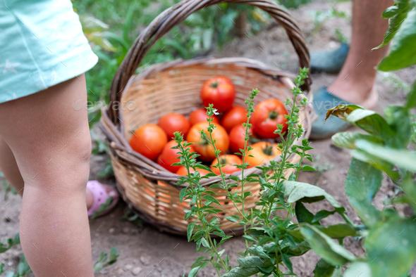 Little girl picking ripe tomatoes from vegetable garden - Stock Photo - Images