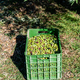 Basket full of olives during harvest, close up - PhotoDune Item for Sale