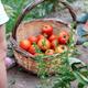 Little girl picking ripe tomatoes from vegetable garden - PhotoDune Item for Sale