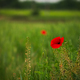 Red poppy - PhotoDune Item for Sale