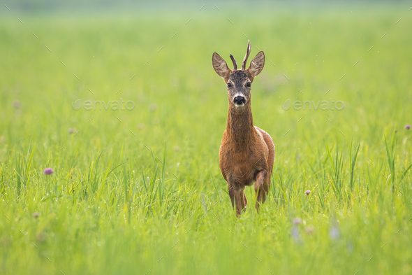 Roe deer buck approaching on meadow in summertime nature - Stock Photo - Images