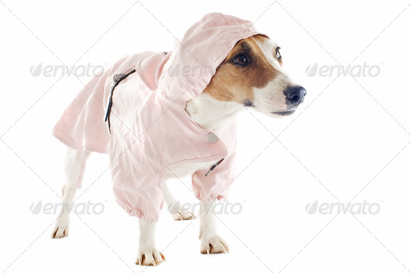 jack russel terrier and raincoat - Stock Photo - Images
