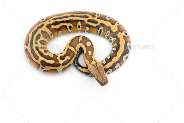 Sumatran Short Tail Python isolated on white background - Stock Photo - Images