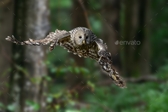 Ural Owl fly in summer forest - Stock Photo - Images