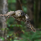 Ural Owl fly in summer forest - PhotoDune Item for Sale