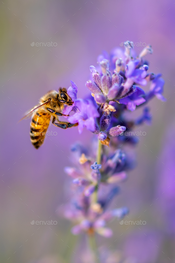 Bee pollinates the lavender flowers. Plant decay with insects - Stock Photo - Images