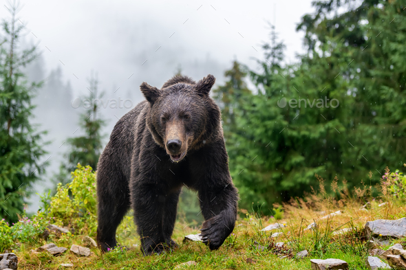 Wild adult Brown Bear  (Ursus Arctos) in the summer forest - Stock Photo - Images