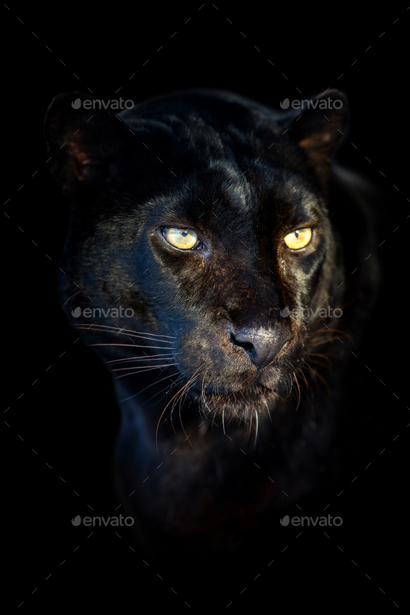 Close up big leopard isolated on black background - Stock Photo - Images