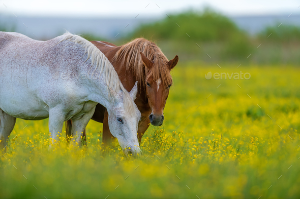 White and brown horse on field of yellow flowers - Stock Photo - Images