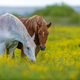 White and brown horse on field of yellow flowers - PhotoDune Item for Sale