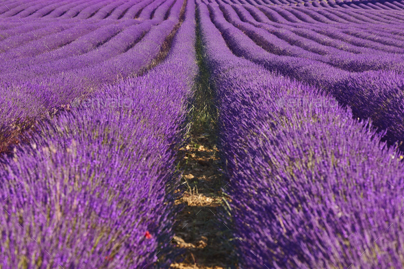 Lavender fields in summer. Guadalajara, Spain. Agriculture - Stock Photo - Images