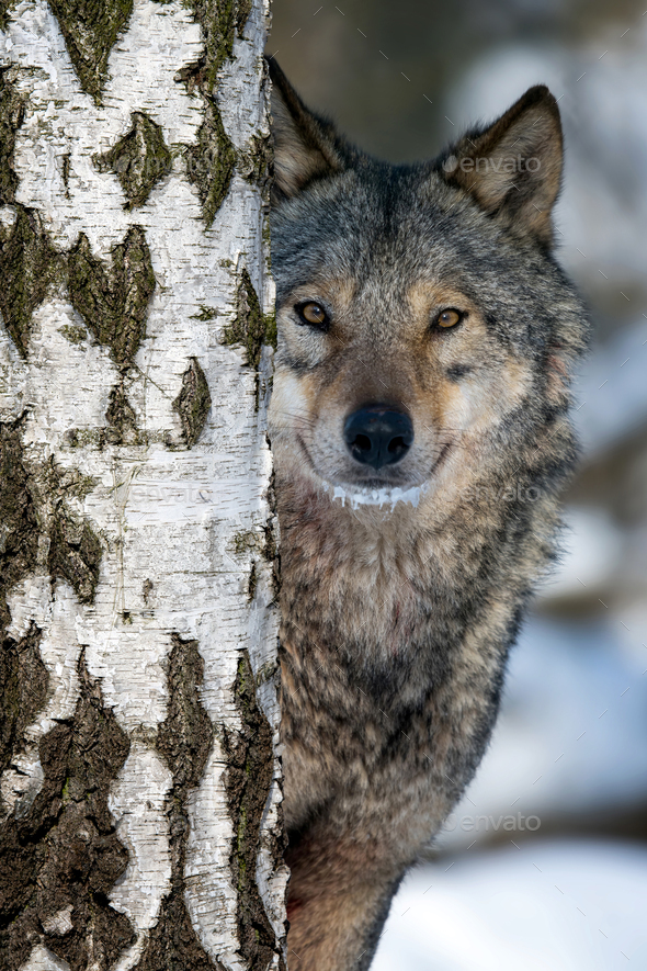 Portrait of an adult wolf peeking out from behind a birch in the winter forest - Stock Photo - Images