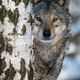 Portrait of an adult wolf peeking out from behind a birch in the winter forest - PhotoDune Item for Sale