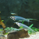 kryptopterus bicirrhis or asian glass catfish close-up - PhotoDune Item for Sale