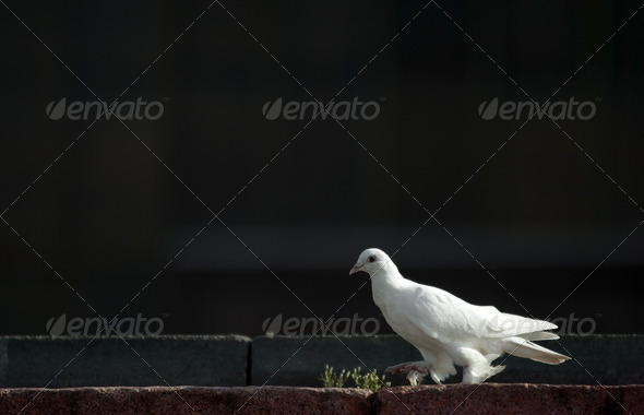 Dove - Stock Photo - Images